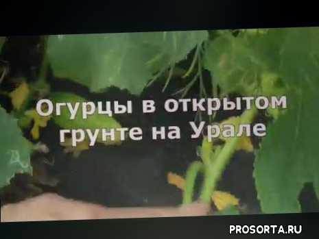 пчелоопыляемые огурцы, огурцы в открытом грунте, выращивание огурцов на урале, выращивание огурцов в открытом грунте, как вырастить огурцы, выращивание огурцов