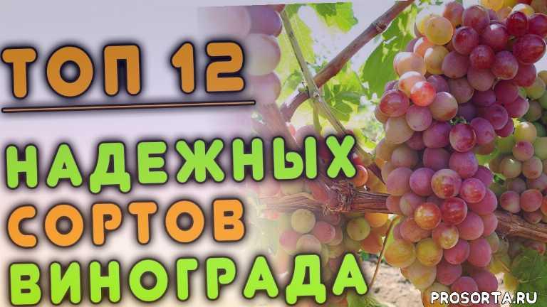 виноград каберне совиньон, виноград арочный, виноград триумф, виноград памяти смольникова, виноград алиса, виноград тимур, виноград юлиан, виноград виктор