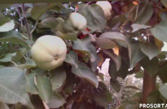 ВКУС ДЕТСТВА Плодоношение сорта яблони БЕЛЫЙ НАЛИВ.