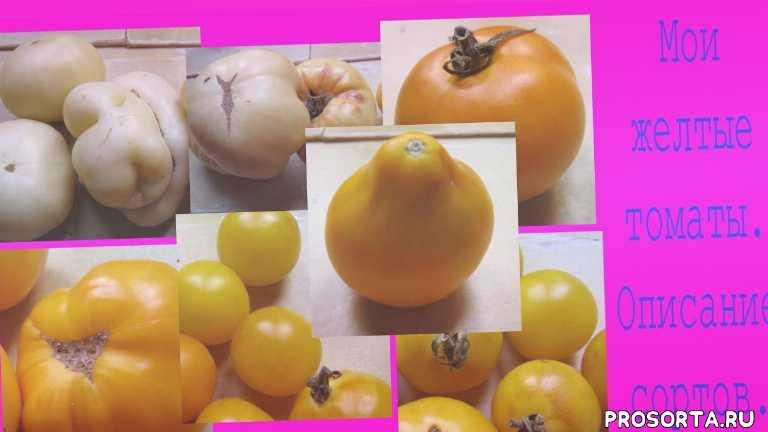 помидоры томаты выращивание томатов огород выращивание помидоров, пикеровка томатов, томаты в теплице, уход за томатоми, полив томатов, рассада, рассада томатов, сорта томатов