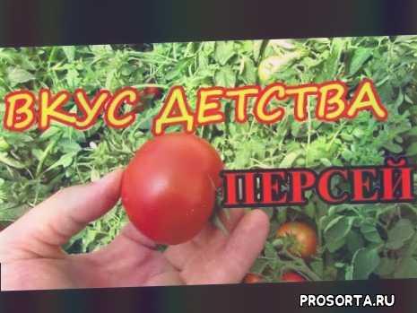 томат для открытого грунта, помидор персей, вкус детства, очень вкусный томат, томат персей, огурцов., сорта, подкормка.