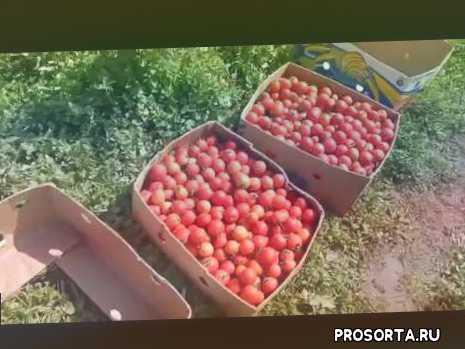 Томат в открытом грунте ас вон F1 - Tomato in the open ground as won F1