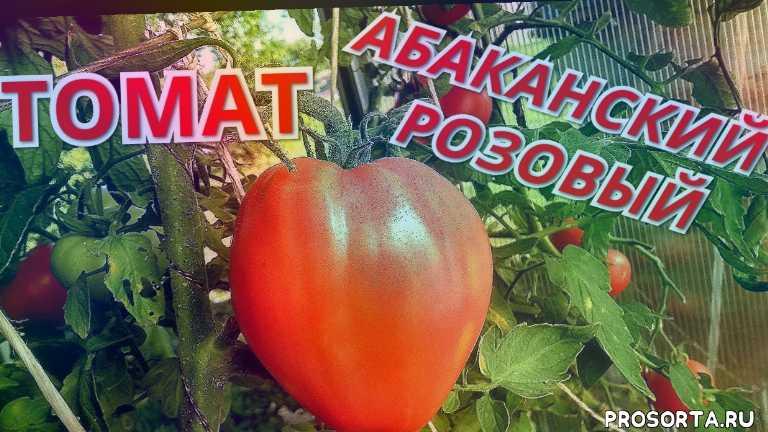 абаканский розовый, крупноплодные томаты, томаты2020, томаты в июле, обзор томатов, гибриды томатов, сорта томатов, томаты в теплице