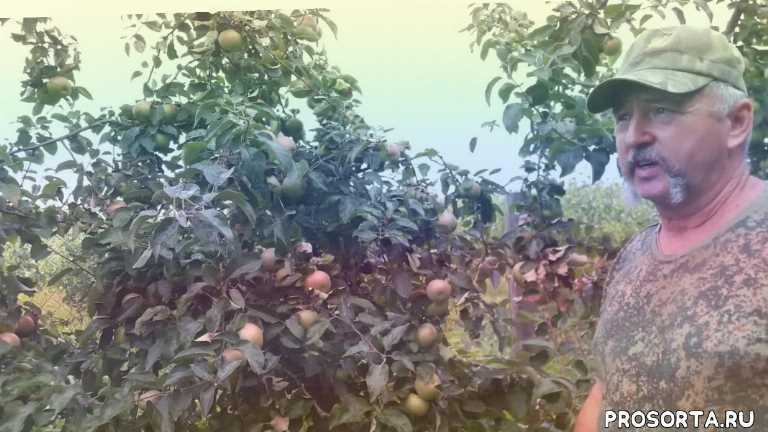 беларусь, брест, яблоневый сад, сад, огород, дача, яблоня белорусское сладкое, яблоня
