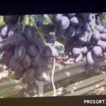 Виноград сорта Велика
