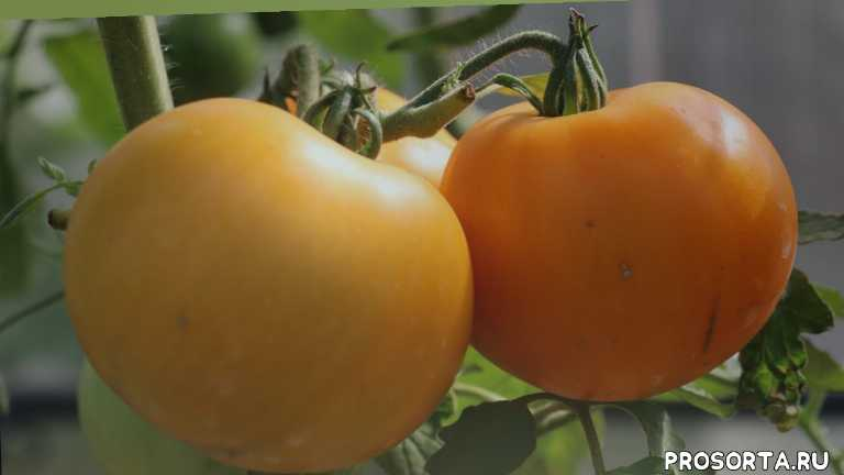 томат, сорт, фото, характеристика, отзывы, описание, оранжевый, крупноплодный