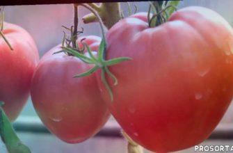выращивание пом, выращивание томатов, томаты в ленинградской области, томаты в теплицы, помидоры, томаты, африканская лиана, томаты в теплице