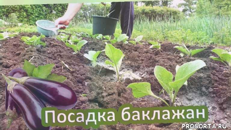 выращивание рассады, посадка рассады, посадка рассады баклажан, посадка баклажанов в грунт