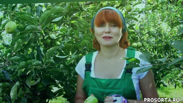яблочки, яблоки, подписка, подпишись, лайки, газета хозяйство, яблоневый сад, падалица