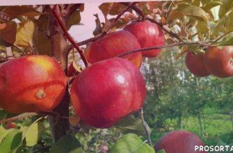 мучнистая роса, устойчивые сорта, чешские сорта яблони, яблоня сорт топаз описание, сад, яблоня, зимний сорт яблок топаз, зимний сорт яблок видео