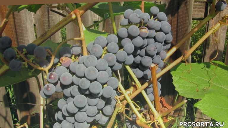 как выбрать сорта винограда, как выращивать виноград, садовый мир, домашнее вино, сорта для виноделия, технические сорта винограда, неукрывной виноград, зимостойкие сорта выинограда