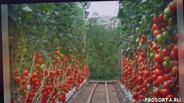 советы дачникам, дача, советы огородникам, огород, овощи, какие томаты сажать в теплице, супер урожай томатов, урожай томатов в теплице