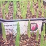 Выгонка тюльпанов на 8 Марта  25 января