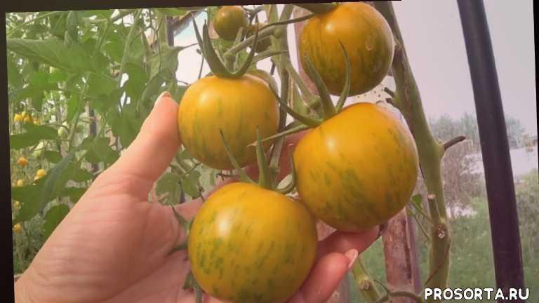 описание, урожайность, отзывы, биколор, для консервации, лучшие помидоры в теплице, лучшие томаты для теплицы, помидор фото