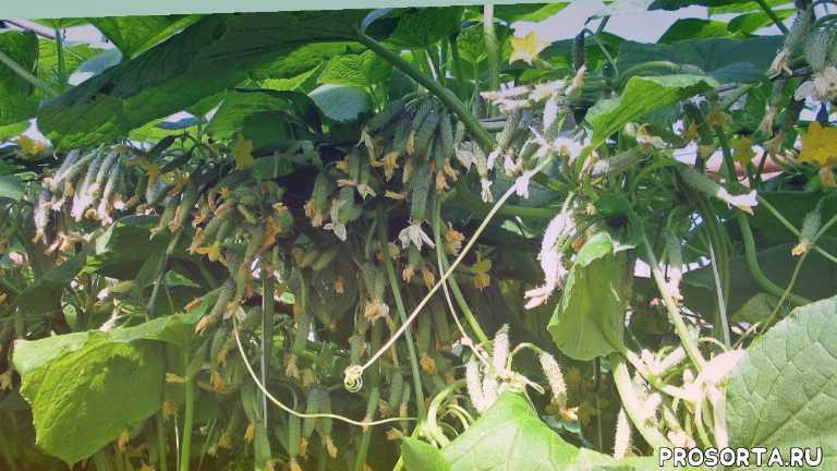наталья петренко, садовый мир, ранние огурцы, урожайные огурцы, как выбрать огурцы, пучковые огурцы, гибриды огурцов, сорта огурцов