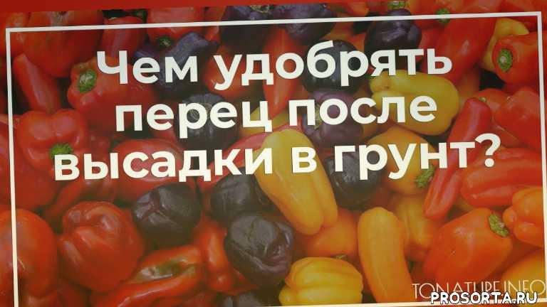 подкормка перца, перец в открытом грунте, высадка перца, удобрение перца, перец уход, условия для перца, выращивание перца, перец