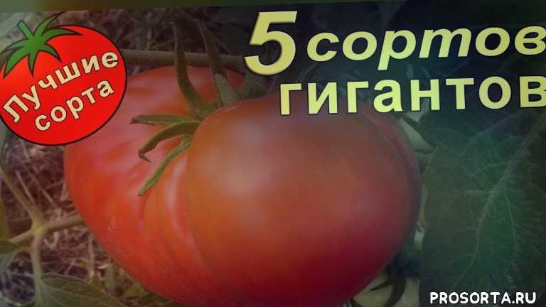 семена томатов, томат большой зак, томат спринт таймер, томат гавайский ананас, томат шапка мономаха, томат медвежья лапа, самые урожайные помидоры, урожайные помидоры