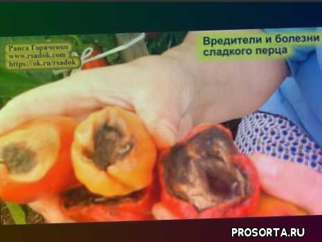 советы, вершинная гниль, вредитель клоп черепашка, болезни сладкого перца, вредители сладкого перца, советы овощеводу, огород, сад
