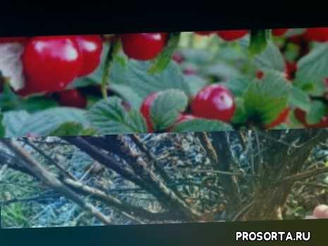войлочная вишня посадка уход обрезка обработка болезни вредители монилиоз осенняя обрезка вишни