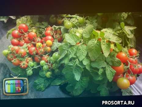 низкорослые помидоры, высокорослые помидоры, индетерминантные, детерминантные, помидоры теплицы, какие томаты, какие помидоры, сорта