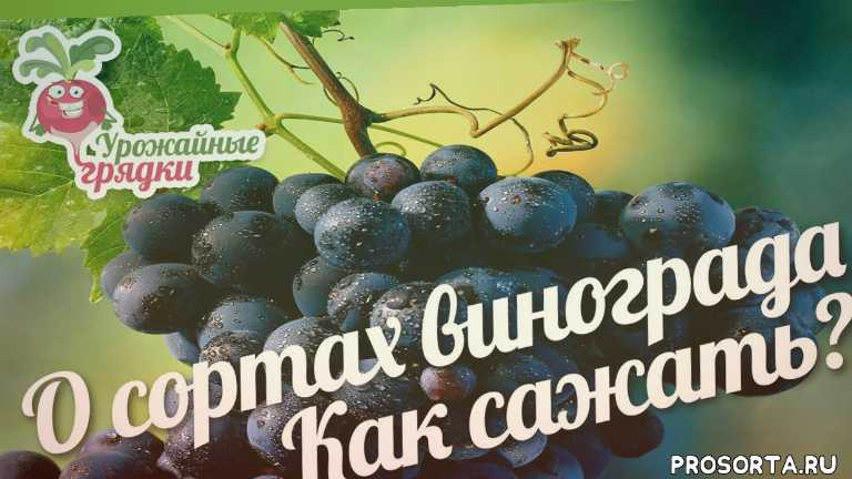 урожайные грядки, виноград, саженцы винограда, сорта винограда фото описание, виноград сорта отзывы, лучшие сорта винограда, сорта винограда видео, как посадить виноград