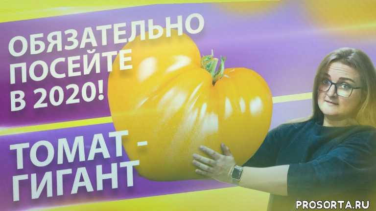 томат гигант, томат мохнатый шмель, томат ожерелье желтое, томат бабушкин поцелуй, томат званый вечер, томат сибирь, томат крупноплодный, томат розовый