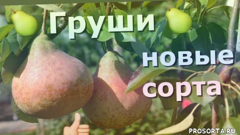 сад огород, советы садоводам, иринин сад для души, лучшие сорта груш, груша сорта отзывы, pear, лучшие осенние сорта груш, груша аббат фетель