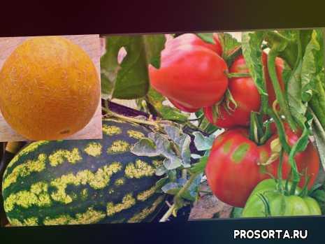 вогороде про, огород про, в огороде про, выращивание дыни, выращивание перцев, выращивание арбузов открытом грунте, выращивание огурцов, выращивание помидоров