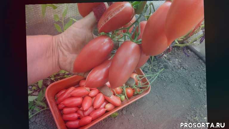 сад огород, самые красивые томаты, ярко-алые пальчиковые плоды, пальчиковые томаты, лучшие томаты для консервирования, томат алые свечи, томаты, ольга чернова