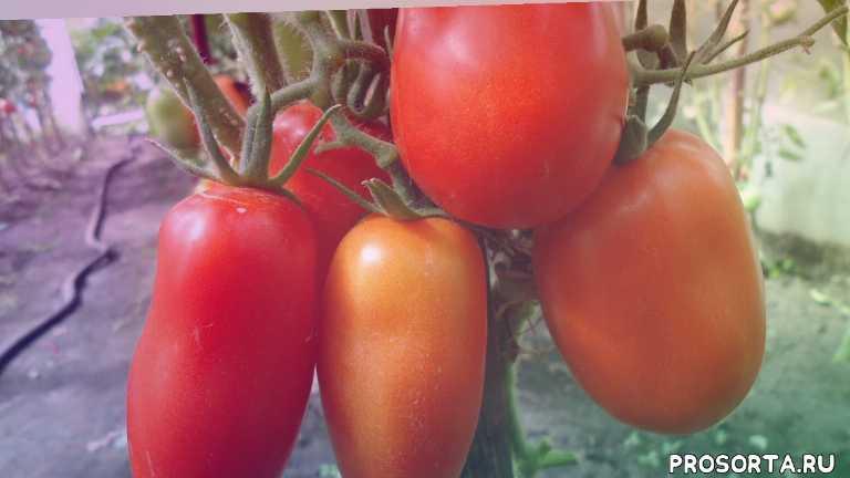 томат перцевидный для консервирования