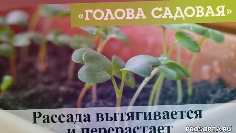 красноярск, афонтово, 11 марта, 2020, рассада вытягивается, рассада вытягивается и перерастает, посев, семена