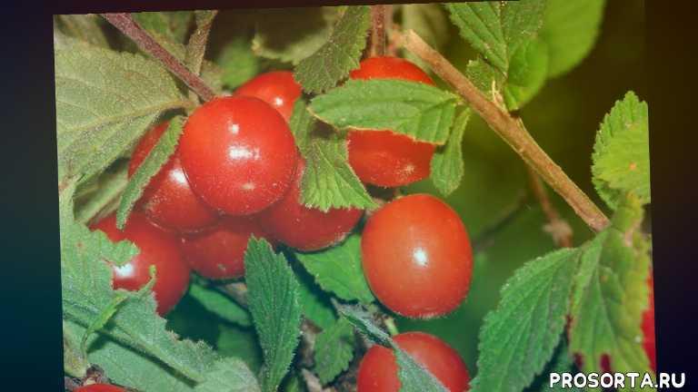 восадули в огороде, вишня китайка, обрезка вишни, уход войлочная вишня, войлочная вишня посадка, войлочная вишня, сад и огород