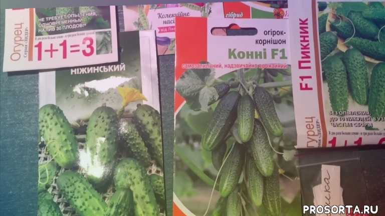 Вот такие семена вкусных огурцов я подготовила к посеву.