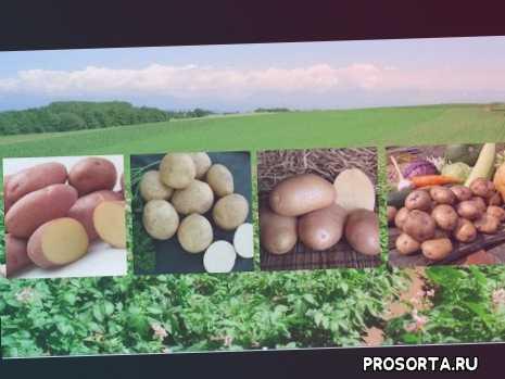 одрета, одретта, адрета, картошка ред скарлет, картошка лидер, картошка адретта, картошка ажур, картофель адретта