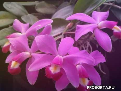 каттлея уход, уход за каттлеей, орхидея каттлея уход, как ухаживать за орхидеей каттлея, как ухаживать за орхидеями каттлеи, каттлеи, еаттлеи, каттлея