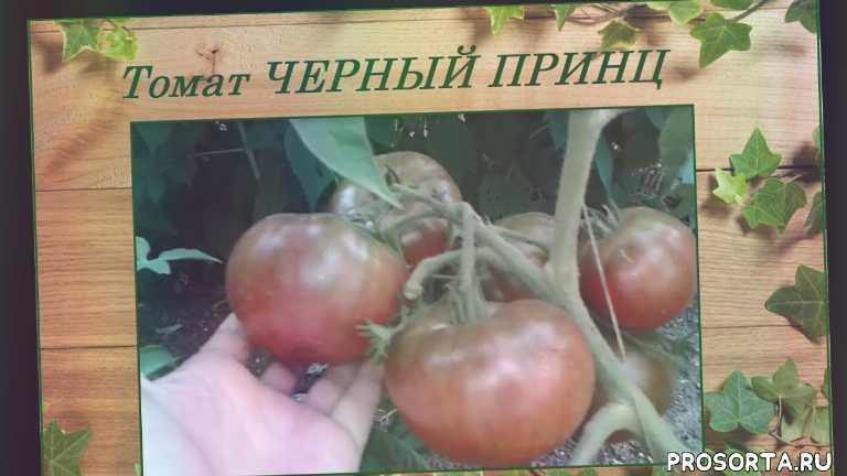 томаты гибриды, томаты сорта, томаты салатные сорта, томат черный принц, томаты, урожайные сорта томатов, самый урожайный сорт томатов, томаты неприхотливые сорта
