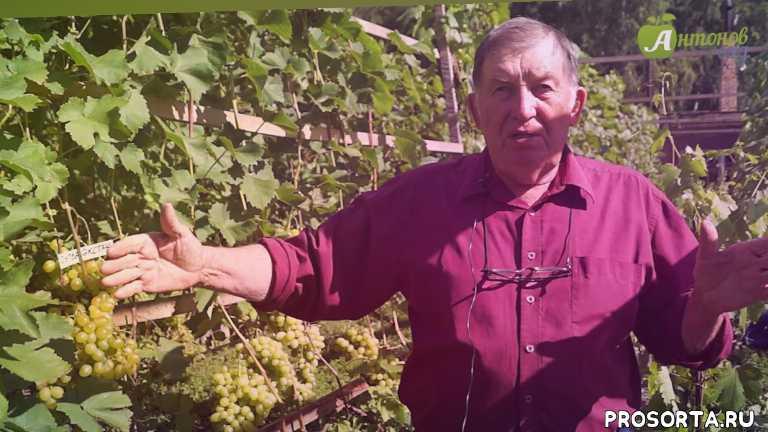 виноградарь, сибирь, выращивание винограда, черенки винограда, посадка винограда, виноград в сибири, виноград