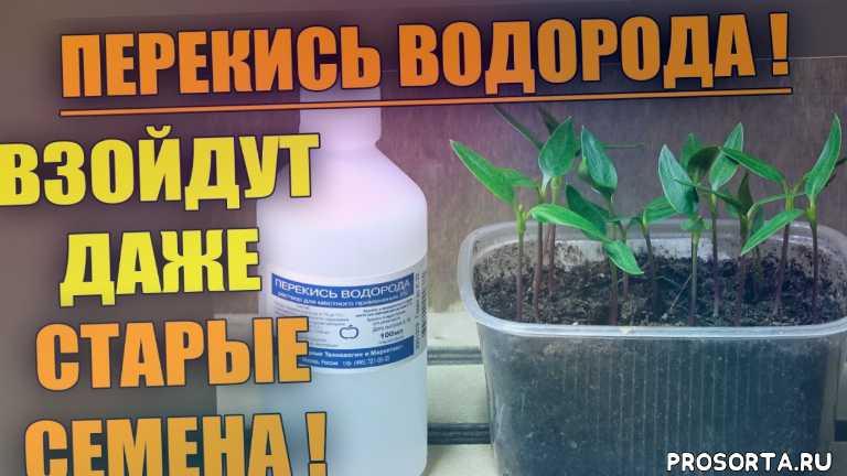 перекись водорода для сада и огорода, урожайный огород, огород, семена, рассада, выращивание перца, применение перекиси водорода, как посеять перец