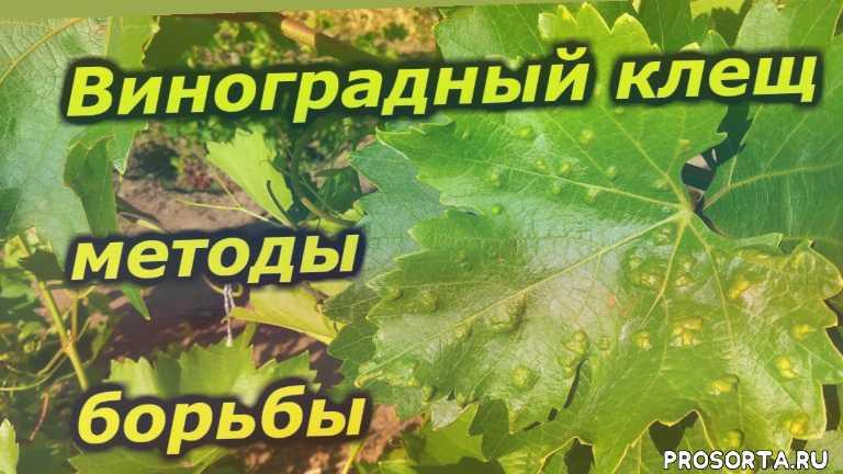 виноградный зудень, виноградный клещ