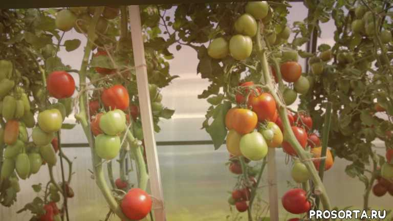гибрид помидор, гибрид томатов, сорт помидор, сорт томатов, помидоры для маринования, помидоры для засолки, агрофирма партнер, семена партнер
