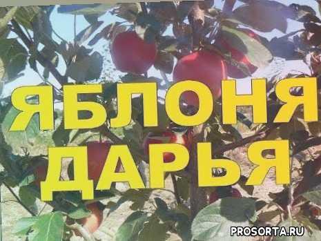 da6517, дашенька, даша, дария, дарья, ранние яблони, летние яблони, яблоня