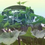 Зеленец ) сорт Эстафета - где взять семена.