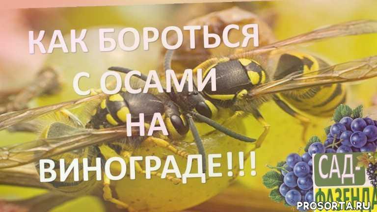 осы на винограде, борьба с осами, как бороться с осами, оса
