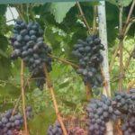 !!Сорт винограда Осенний черный.