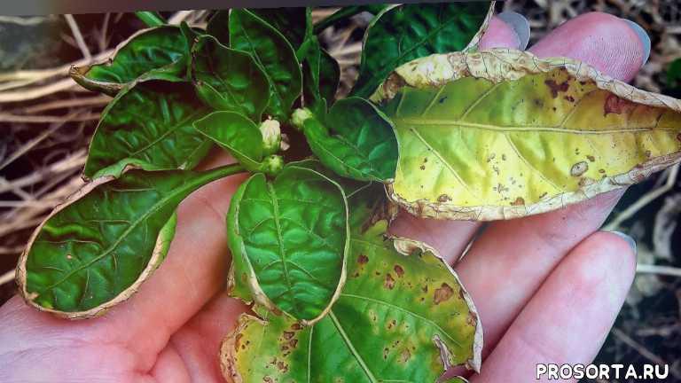 желтеют листы, заболевание перца, лечение перца, лечение, фитолавин, заболел, болеет перец, бактериальные болезни перца