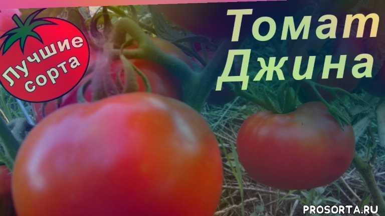урожайные сорта томатов, урожайные томаты, сорта томатов, лучшие сорта томатов, сорт томата джина, томат джина