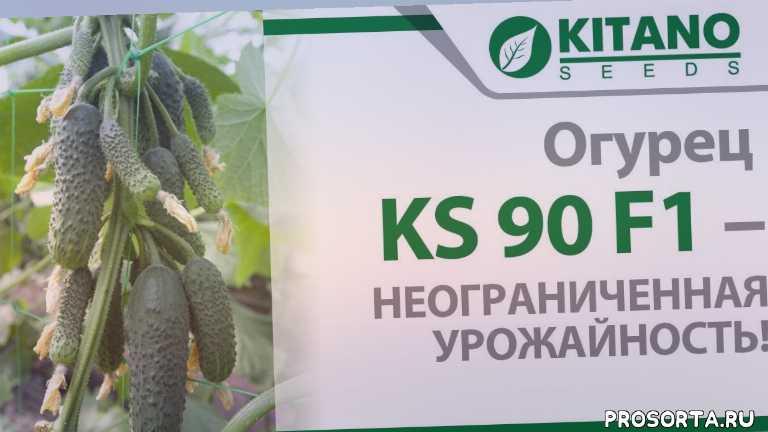 обзор гибрида ks 90, cucumber on a trellis, amazing agriculture, kaminari f1, весенний оборот, неограниченная урожайность, крупнобугорчатые плоды, плоды хрустящие