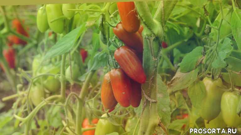 томаты черри, сладкие помидоры, коктейльные томаты, сладкий касади описание сорта