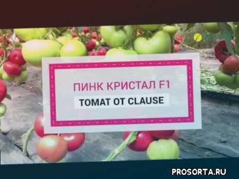 помидор, семена томатов, помидоры, томат, купить семена томатов, томат индет, выращивание в закрытом грунте, розовые помидоры