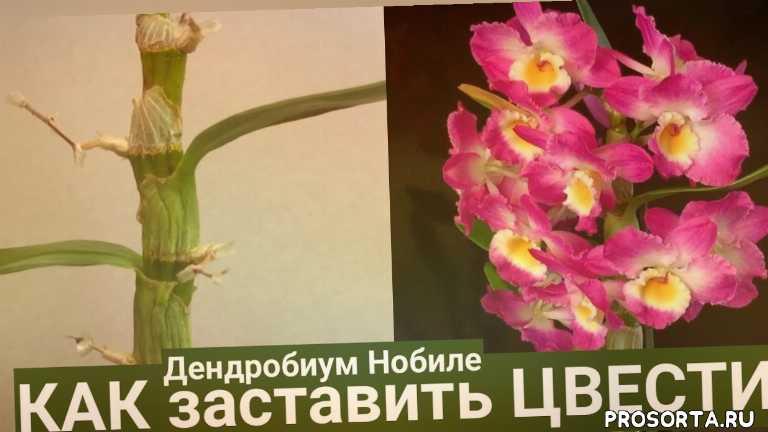 георгий горячевский, dendrobium, orchids, dendrobium nobile, дендробиум после цветения, дендробиум, орхидея дендробиум нобиле, дендробиум уход